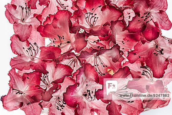 Blüte vom Rhododendron