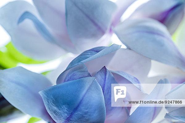 Detail einer Magnolienblüte