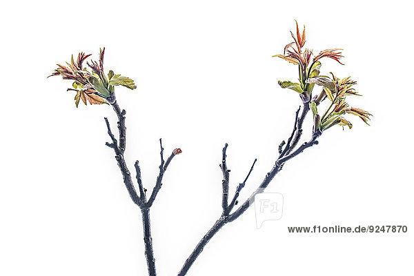Zwei Zweige mit Ahornblättern