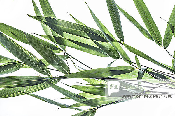 Pflanzenblatt Pflanzenblätter Blatt Bambus