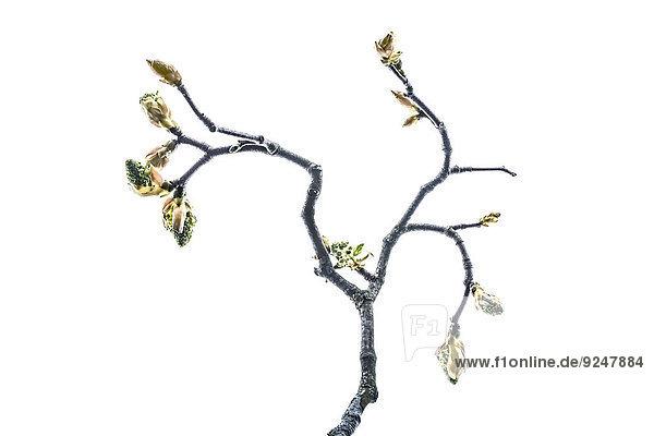 Zweig mit Knospen vom Ahornbaum