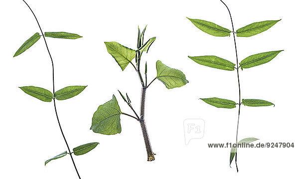 Wickenblätter und ein Zweig japanischer Staudenknöterich