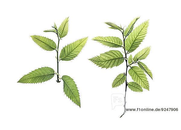 Zwei Zweige vom Esskastanienbaum