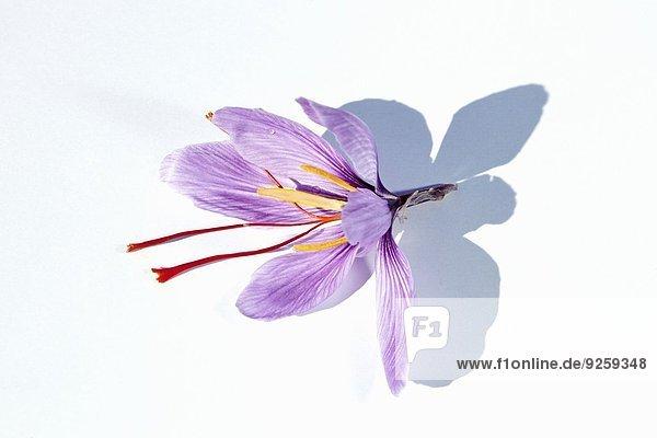 Eine Safranblüte