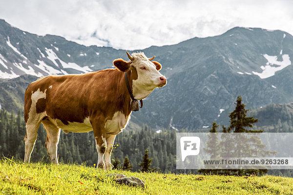 Österreich  Kärnten  Fragant  Kuh auf der Alm Österreich, Kärnten, Fragant, Kuh auf der Alm