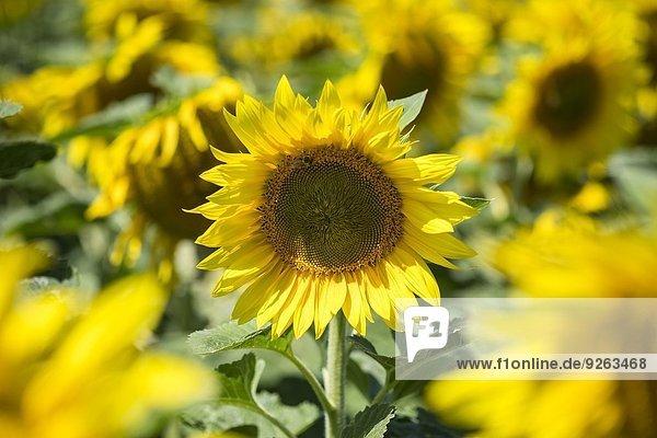 Sonnenblumenfeld  Helianthus annuus  Teilansicht