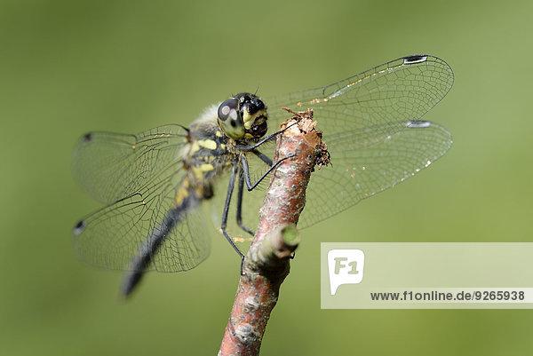 Schwarze Heidelibelle  Sympetrum danae  auf einem Zweig vor grünem Hintergrund sitzend