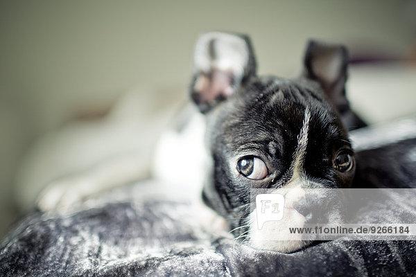 Deutschland  Rheinland-Pfalz  Boston Terrier  Welpe liegend Deutschland, Rheinland-Pfalz, Boston Terrier, Welpe liegend