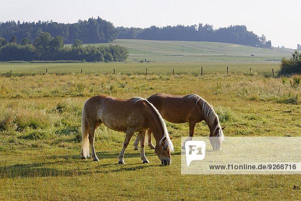 Deutschland  Bayern  Pferde im Fahrerlager bei Rins