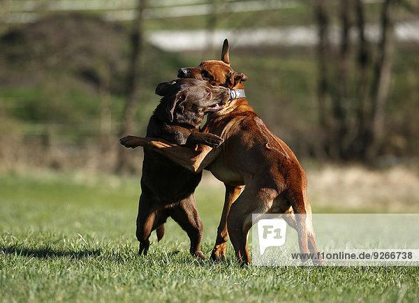 Rhodesian Ridgeback und brauner Labrador Retriever  Canis lupus familiaris  Spielkampf auf einer Wiese