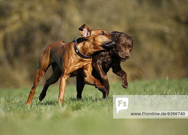 Rhodesian Ridgeback und brauner Labrador Retriever  Canis lupus familiaris  auf einer Wiese laufend