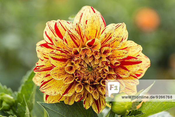 Blossom and bud of yellow and red dahlia  Dahlia