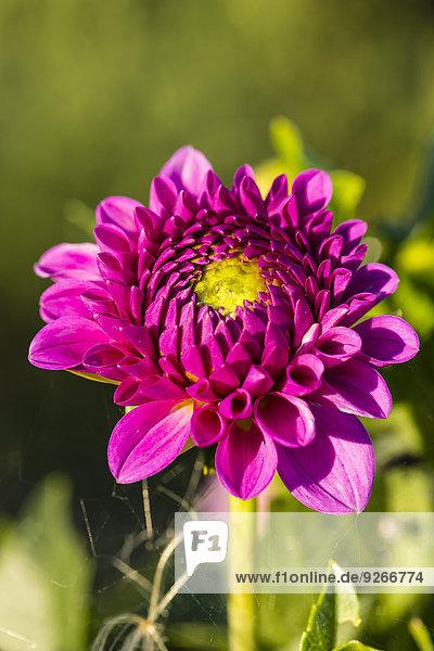 Blüte der rosa Dahlien  Dahlien  bei Sonnenlicht