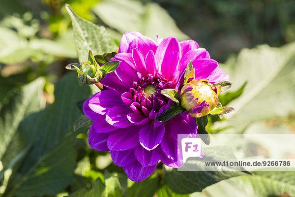 Blüte und Knospe der lila Dahlien  Dahlien  bei Sonnenlicht