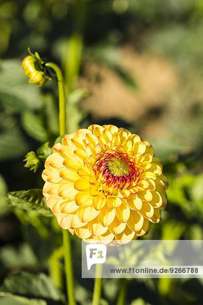 Blüte und Knospen der gelben Dahlien  Dahlien  bei Sonnenlicht