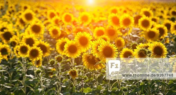 Sonnenblumenfeld im Sonnenlicht  Volterra  Toskana  Italien