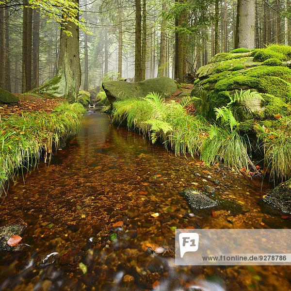 Bach im nebligen Bergwald,  Nationalpark Harz,  Sachsen-Anhalt,  Deutschland
