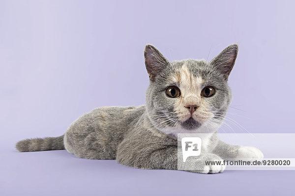 Britisch Kurzhaar Kitten  24 Wochen  Farbe Blau Creme Weiß
