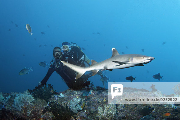 Divers watching white tip reef shark (Triaenodon obesus)  Embudu channel  Indian Ocean  Tilla  South Male Atoll  Maldives