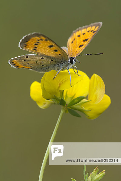 Large Copper (Lycaena dispar)  Burgenland  Austria