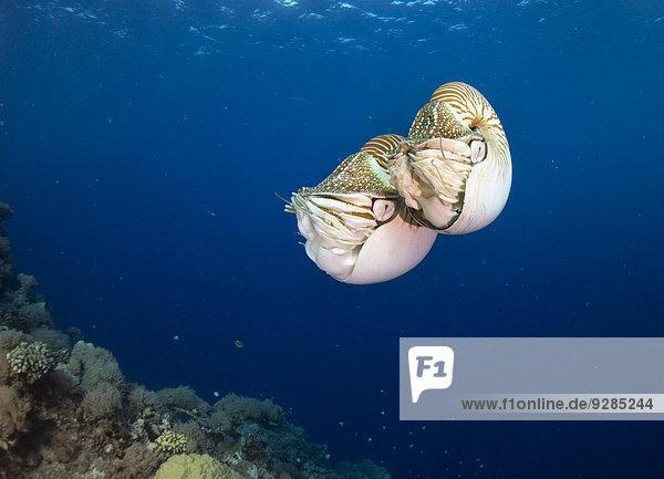 Palau Nautiluses (Nautilus belauensis)  Palau