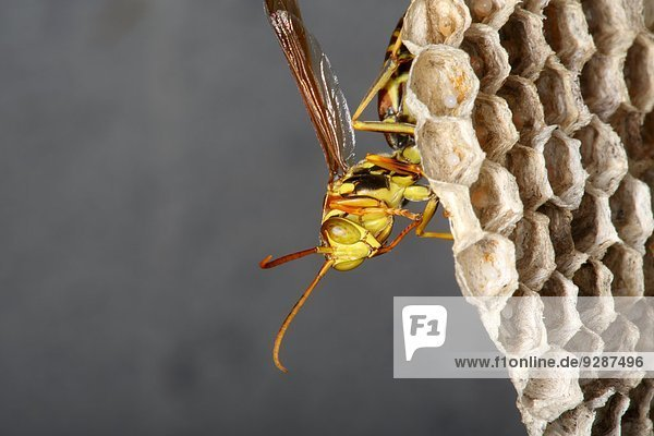 Close-up Insekt