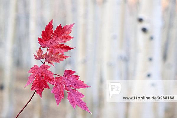 Rote Ahornblätter auf einem Stengel  vor einem hellen Hintergrund. Herbst.