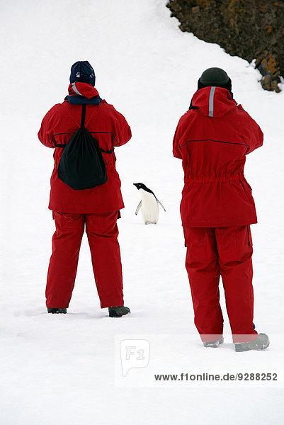 Helligkeit Mensch zwei Personen beobachten Menschen fotografieren 2 Kinnriemen Zügelpinguin Pygoscelis antarctica Pinguin