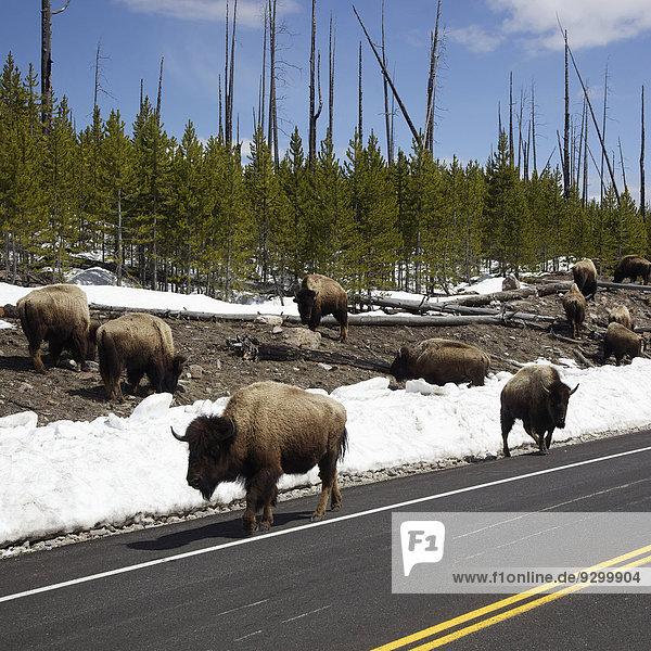Eine Bisonherde  die am Rande einer Straße im Yellowstone Nationalpark in Wyoming grast.