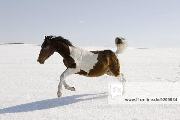 Pferderennen im Schnee Pferderennen im Schnee
