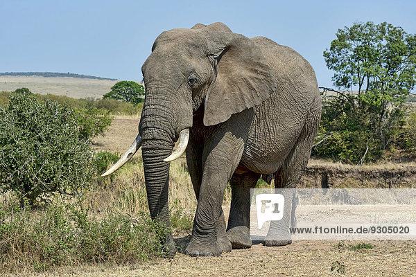 Afrikanischer Elefant (Loxodonta africana)  Masai Mara  Kenia