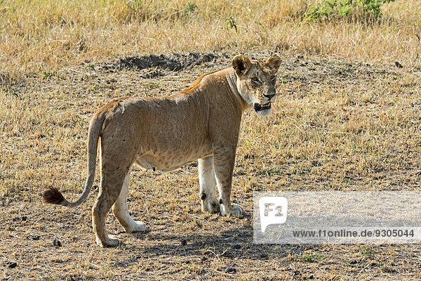 Lion (Panthera leo)  lioness  adult female  Maasai Mara National Reserve  Kenya
