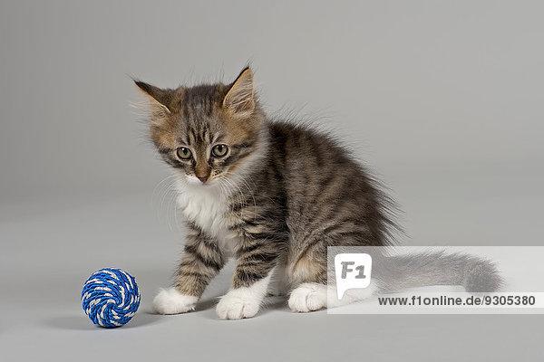 Sibirische Waldkatze  Kitten  7 Wochen