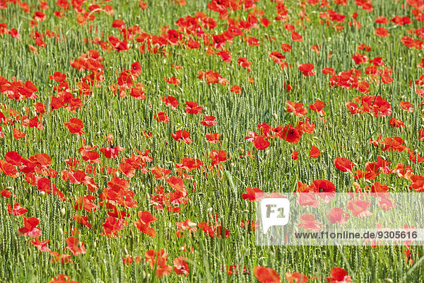 Roter Klatschmohn (Papaver rhoeas) wächst im Weizenfeld  Département Lot  Midi-Pyrénées  Frankreich