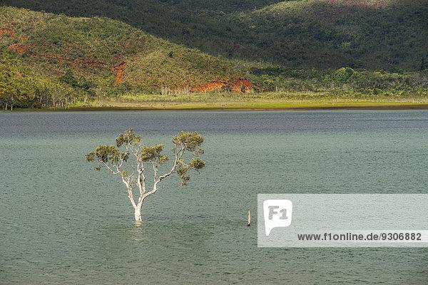 Versunkener Baum  Forêt Noyée  am Yaté-Stausee  Lac de Yaté  Südprovinz  Grande Terre  Neukaledonien