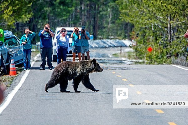 Grizzlybär ursus horibilis Grizzly nahe Nationalpark See Bach Yellowstone Nationalpark Marmelade Pelikan
