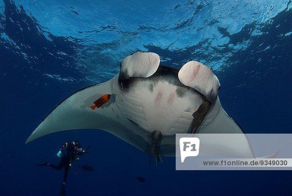 Giant Manta ray  manta birostris and scuba diver in San Benedicto Island Revillagigedo archipelago  Pacific ocean  Mexico.