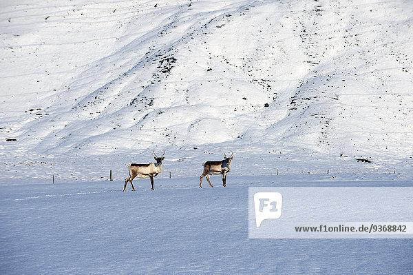 Rentier Rentiere Rangifer tarandus Landschaft Arktis grasen