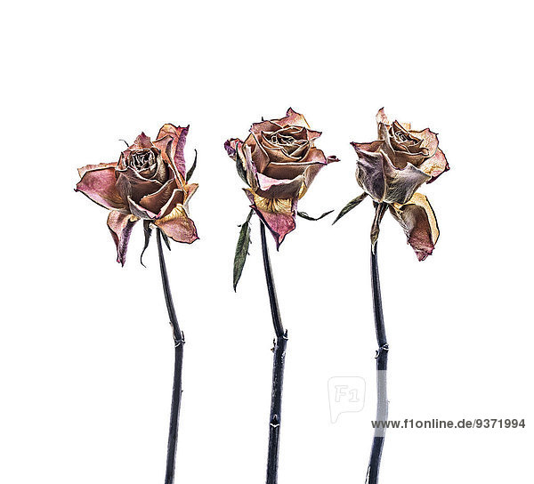 Drei vertrocknete Rosen