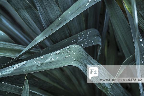 Pflanzenblatt Pflanzenblätter Blatt Yucca rostrata