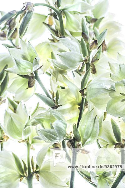 Blüten einer Palmlilie