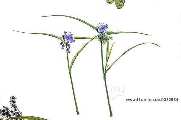 Zwei Dreimasterblumen
