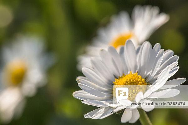 Margerite Chrysanthemum leucanthemum Close-up close-ups close up close ups