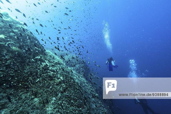 Divers exploring school of fish  Dalmatia  Croatia