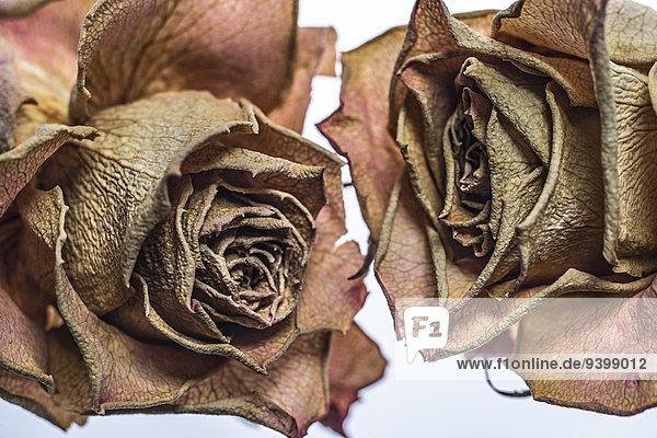 Verwelkte Rosen