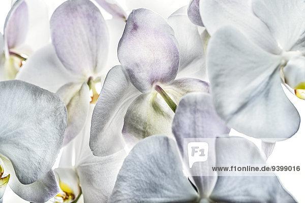 Phalaenopsis-Orchidee