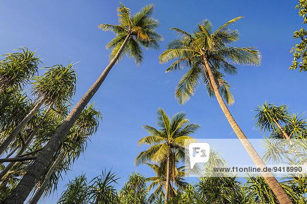 Kokospalmen (Cocos nucifera) und Schraubenbäume (Pandanus tectorius)  Sulawesi  Indonesien