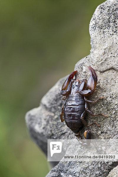 Small Wood Scorpion species (Euscorpius germanus)  Tyrol  Austria