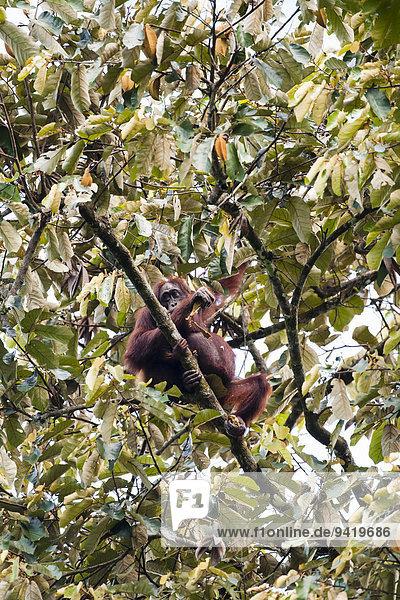 Borneo-Orang-Utan (Pongo pygmaeus)  Weibchen und Jungtier fressen Blätter  Kinabatangan  Sabah  Malaysia  Borneo