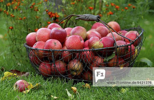Korb mit roten Äpfeln und Herbstlaub